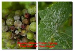 Cara Mengendalikan Penyakit Tanaman Anggur