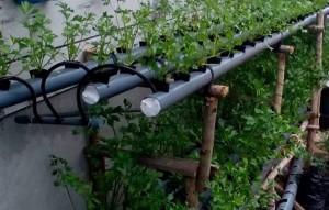 Menanam Seledri Hidroponik Sistem Wick