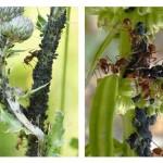 Symbiosis Semut dan Kutu Daun, Menguntungkan Atau Merugikan?