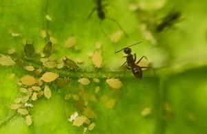 Semut Sebagai Indikator Alami Kutu Daun