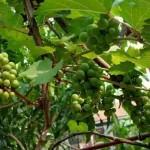 Panduan Teknis Budidaya Anggur