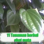 11 Jenis Tanaman Herbal Untuk Obat Mata