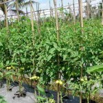 Penyebab Pecah Batang Tanaman Tomat