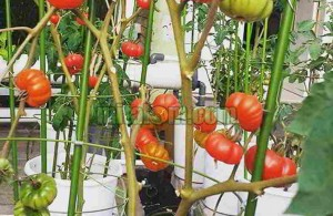 tanaman sayuran buah hidroponik