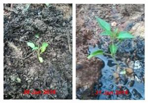 Manfaat air got sebagai pupuk tanaman