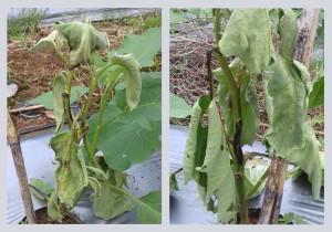 busuk batang pada tanaman terong (Foto : Argo Ismoyo)