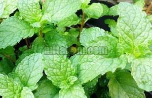 khasiat daun mint