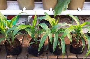 cara menanam jagung dalam pot