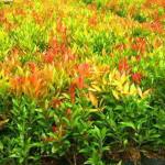 Cara Menanam Pohon Pucuk Merah Agar Tumbuh Subur