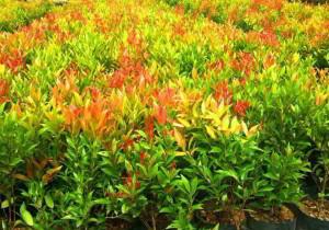 cara menanam pucuk merah