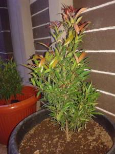 cara menanam pohon pucuk merah dalam pot