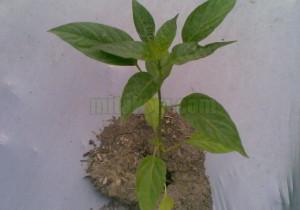 mengatasi tanaman stres