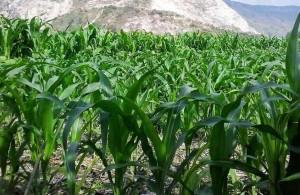 jajar legowo pada jagung