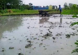 pengolahan lahan padi SRI