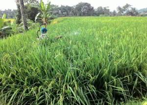 cara tepat menyemprot padi