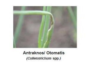 penyakit antraknosa pada bawang merah
