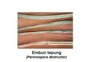 penyakit embun tepung pada bawang merah