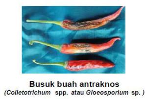 jenis fungisida untuk busuk buah cabai
