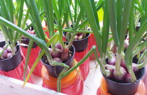 bawang merah hidroponik sederhana