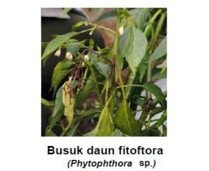 jenis fungisida untuk busuk phytophthora pada cabai