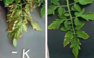 Ciri-ciri kekurangan unsur kalium (K)