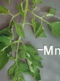 ciri-ciri kekurangan unsur mangan (Mn)