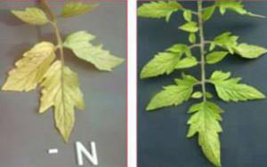 Ciri-ciri kekurangan nitrogen