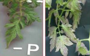 Ciri-ciri kekurangan unsur phospor