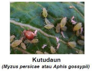 akarisida untuk kutu daun