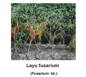fungisida untuk mengatasi layu fusarium pada cabai