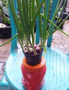 cara tanam bawang merah hidroponik