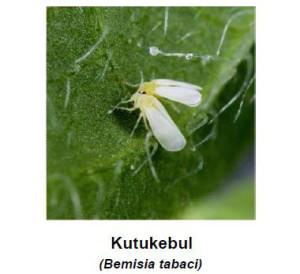akarisida atau insektisida untuk kutu kebul