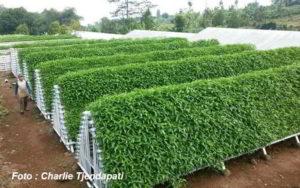 Kisah Sukses Petani Kangkung