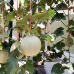 Cara Menanam MELON di Polybag atau Pot Agar Tumbuh Subur