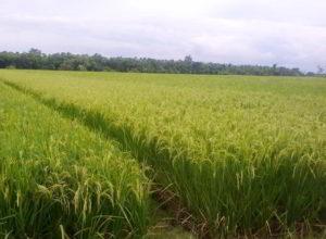 Kebutuhan Pupuk Per Hektar Tanaman Padi