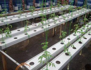 Tomat Hidroponik Sistem NFT