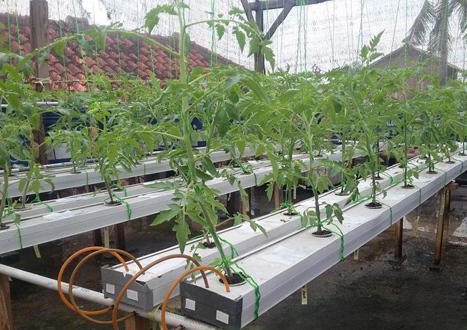 10 cara tepat dan mudah menanam tomat hidroponik subur berbuah lebat cara menanam tomat hidroponik ccuart Images
