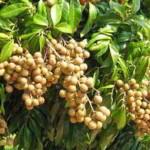 Tips Agar Kelengkeng Cepat Berbunga dan Berbuah Lebat