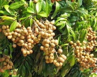 16 Tips Agar Pohon Kelengkeng Cepat Berbuah Lebat Pupuk Kelengkeng