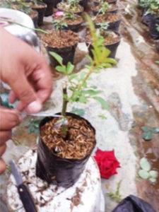Pembibitan Mawar Dengan Okulasi