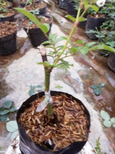 Cara Perbanyakan Bunga Mawar Dengan Okulasi Mata Berkayu