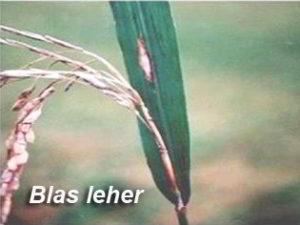 Penyakit BLAS Leher Pada Tanaman Padi