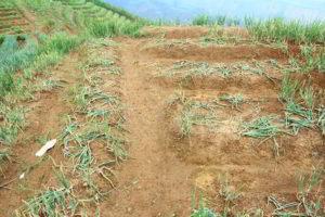 Foto Kerusakan Kebun Bawang Daun Di Majalengka 2