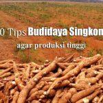 10 Tips dan Cara Meningkatkan Produksi SINGKONG