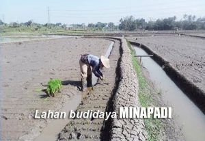 Cara Membuat Lahan Budidaya Padi dan Ikan (MINAPADI)