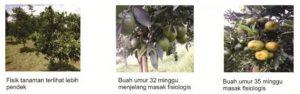 Cara Melakukan Metode Pelenturan Batang Untuk Mempercepat Jeruk Berbuah