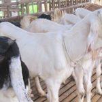Cara Mengatasi KEMBUNG PERUT pada Ternak Kambing