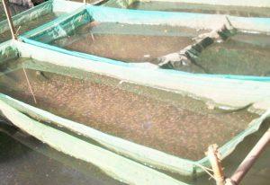 Gambar Kolam Pemeliharaan Larva Ikan Nila Menggunakan Hapa