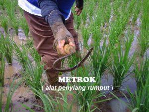 Kored atau Metrok Alat Untuk Penyiang Rumput Padi