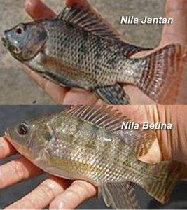 Perbedaan Ikan Nila Jantan dan Nila Betina